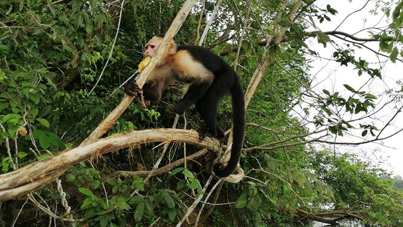 White Faced Capuchin Panama